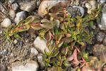 Ludwigia palustris (L.) Elliott