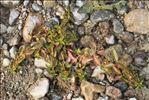 Photo 2/4 Ludwigia palustris (L.) Elliott