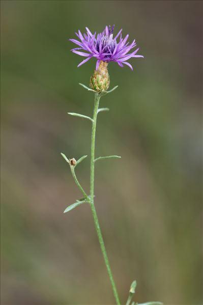 Centaurea paniculata L. subsp. paniculata