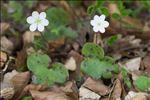 Photo 2/6 Anemone hepatica L.
