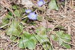 Photo 5/6 Anemone hepatica L.