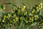 Photo 6/8 Artemisia biennis Willd.