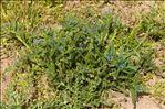 Photo 1/1 Lycopsis arvensis L.
