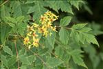Koelreuteria paniculata Laxm.
