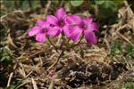 Oxalis articulata Savigny