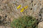 Papaver alpinum subsp. alpinum var. aurantiacum (Loisel.) B.Bock
