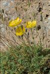 Papaver alpinum L. subsp. alpinum