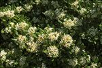 Photo 1/1 Pittosporum tobira (Thunb.) W.T.Aiton