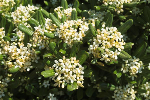 Pittosporum tobira (Thunb.) W.T.Aiton