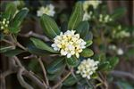 Photo 1/2 Pittosporum tobira (Thunb.) W.T.Aiton