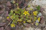Saxifraga cymbalaria var. huetiana (Boiss.) Engl. & Irmsch.