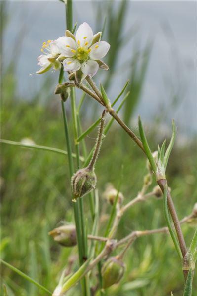 Spergula bocconei (Scheele) Pedersen