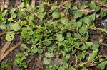 Photo 1/2 Lythrum portula (L.) D.A.Webb