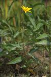 Helianthus x laetiflorus Pers.