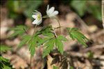 Photo 3/7 Anemone nemorosa L.