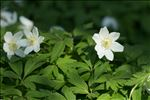 Photo 6/7 Anemone nemorosa L.