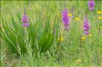 Photo 1/5 Lythrum salicaria L.