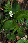Photo 1/1 Maianthemum bifolium (L.) F.W.Schmidt