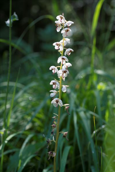 Pyrola rotundifolia L. var. rotundifolia