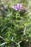 Photo 6/10 Malva moschata L.