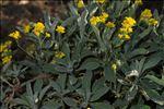 Aurinia saxatilis (L.) Desv.