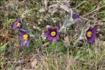 Photo 12/12 Anemone pulsatilla L.