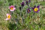 Photo 11/12 Anemone pulsatilla L.