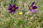 Photo 10/12 Anemone pulsatilla L.