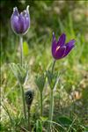 Photo 9/12 Anemone pulsatilla L.