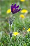 Photo 7/12 Anemone pulsatilla L.