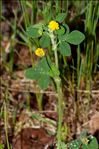 Photo 1/1 Medicago lupulina L.