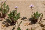 Erodium lebelii Jord.