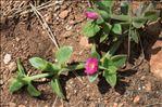 Photo 2/8 Aptenia cordifolia (L.f.) Schwantes