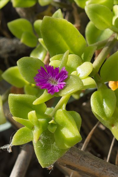 Aptenia cordifolia (L.f.) Schwantes