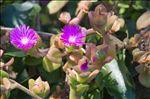 Photo 8/8 Aptenia cordifolia (L.f.) Schwantes