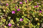 Photo 6/8 Aptenia cordifolia (L.f.) Schwantes