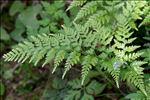 Photo 4/4 Asplenium onopteris L.