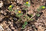 Photo 1/1 Medicago rigidula (L.) All.