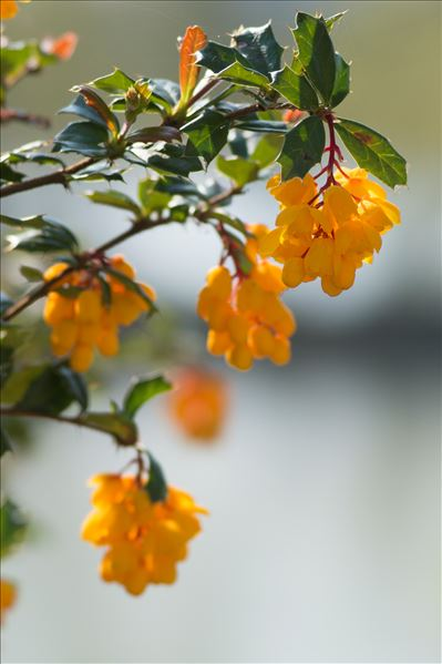Berberis darwinii Hook.