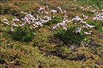 Limonium dodartii (Girard) Kuntze