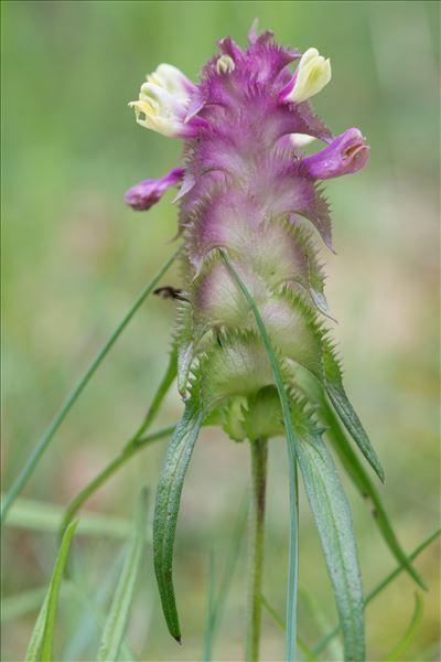 Melampyrum cristatum L.