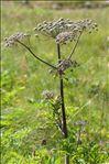 Photo 1/6 Angelica sylvestris L. subsp. sylvestris