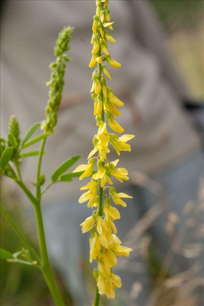 Trigonella altissima (Thuill.) Coulot & Rabaute