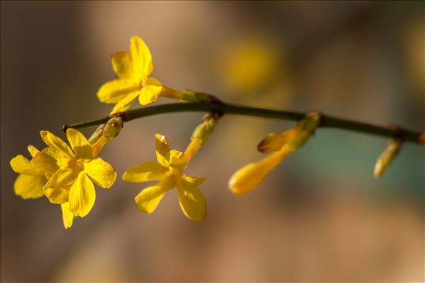 Jasminum nudiflorum Lindl.
