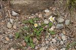 Leucanthemum adustum (W.D.J.Koch) Gremli