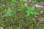 Photo 1/2 Mercurialis perennis L.