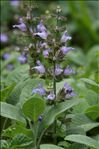Salvia officinalis L. subsp. officinalis