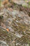 Photo 1/2 Micropyrum tenellum (L.) Link