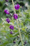 Verbascum phoeniceum L.