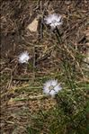 Photo 2/3 Dianthus hyssopifolius L.